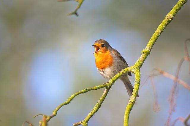 Vögel singen hören